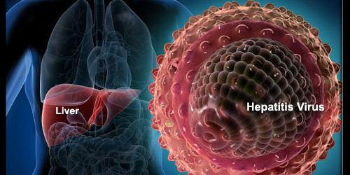 печень человека и вирус гепатита B