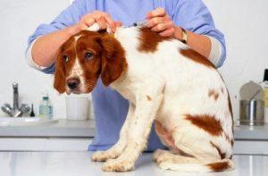 ветеринар делает прививка взрослой собаке