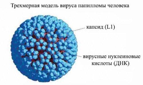 вирус папилломы человека трёхмерная модель