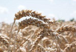 злаки пшеницы