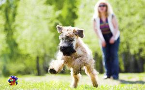 собака на прогулке играет с мячом