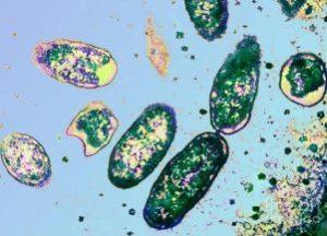 бактерии риккетсии