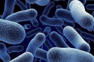 бактерии рода Shigella под микроскопом