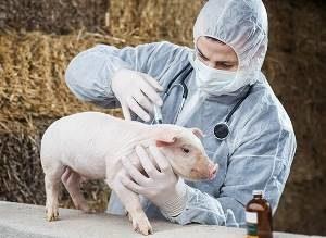 ветеринар делает поросёнку прививку