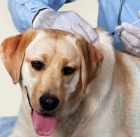 ветеринар делает прививку собаке