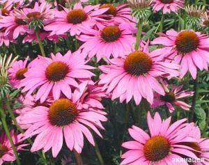 эхинацея цветки