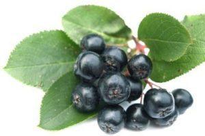 ветка с плодами рябины черноплодной