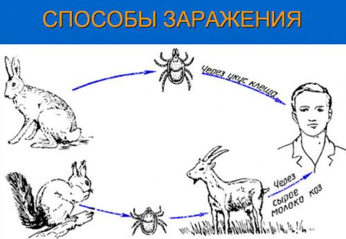 как происходит заражение вирусом клещевого энцефалита