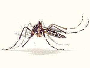комар рода Aedes aegypti, рисунок