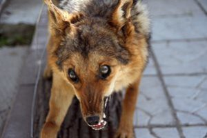 заражённая бешенством собака