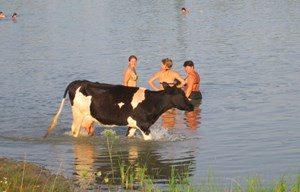 люди и корова купаются рядом в реке