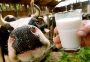 корова и стакан молока — источник бруцеллёза