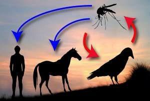 схема передачи человеку лихорадки Западного Нила